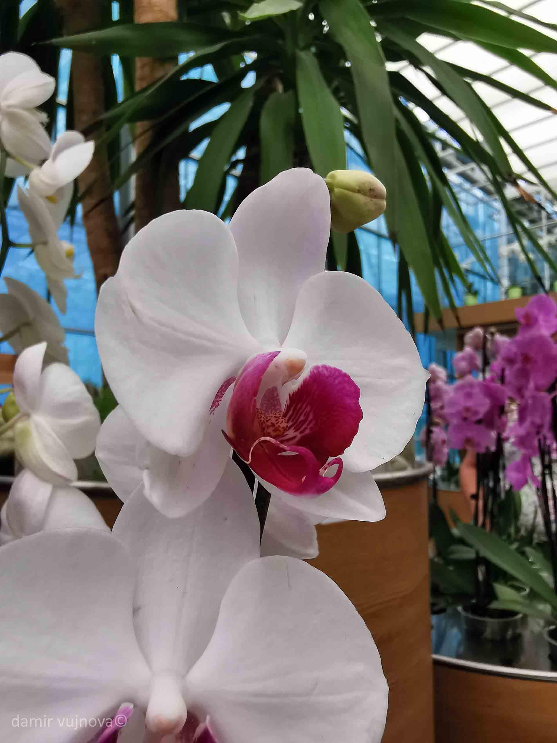 Ocean orhideja